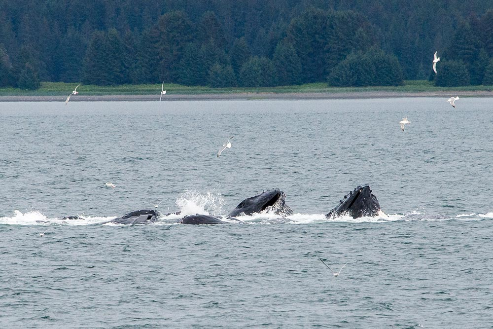 Whales during Science at Sea 2017 in Alaska